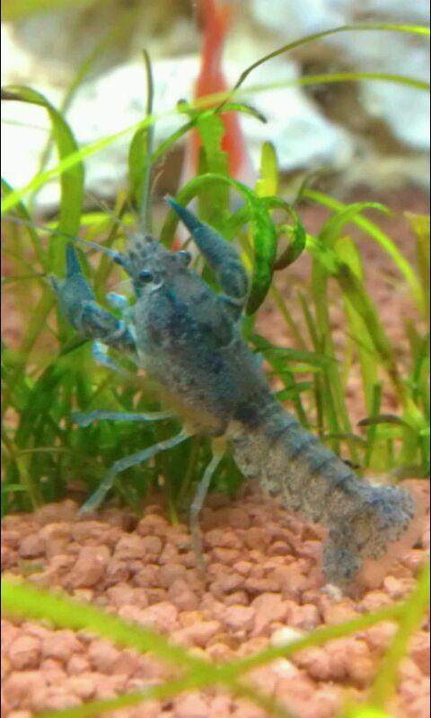 Kleine krebse und schnecken im selben aquarium for Schnecken im aquarium