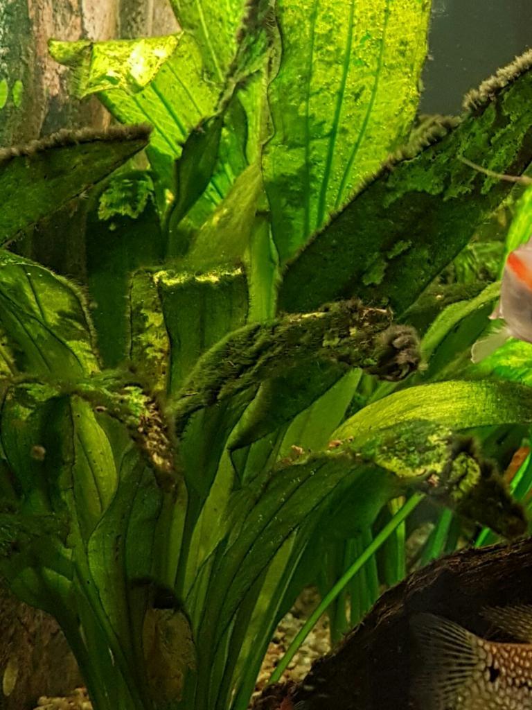 algen algenbefall auf pflanzen aquarium forum. Black Bedroom Furniture Sets. Home Design Ideas