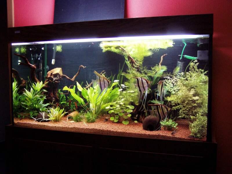 Skalar becken bildergalerie for Skalar aquarium