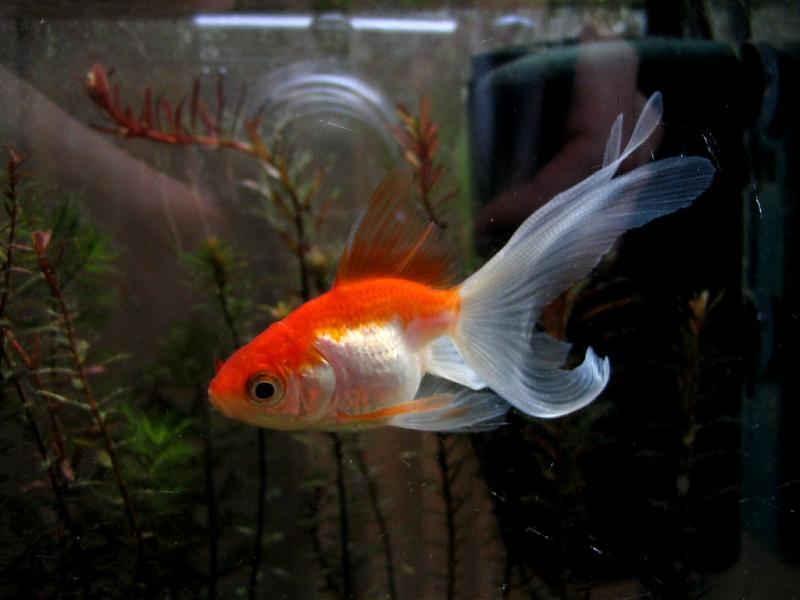 carassius auratus auratus goldfisch schleierschwanz