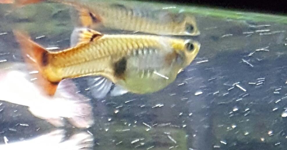 Гуппи самец гоняет беременную самку 61