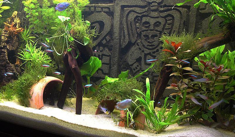 zwergfadenfisch aquarium