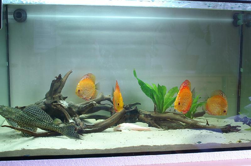 diskus aquarium ohne pflanzen