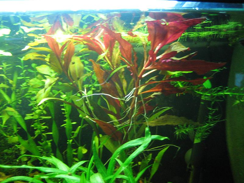 vermehrung ludwigia glandulosa aquarium forum. Black Bedroom Furniture Sets. Home Design Ideas