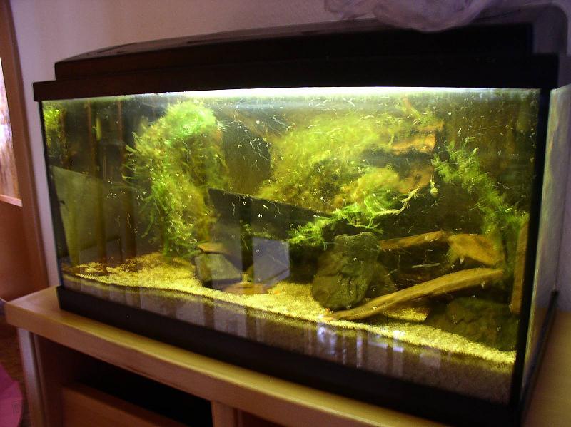 54l brackwasser mit goldringelgrundeln und rennschnecken. Black Bedroom Furniture Sets. Home Design Ideas