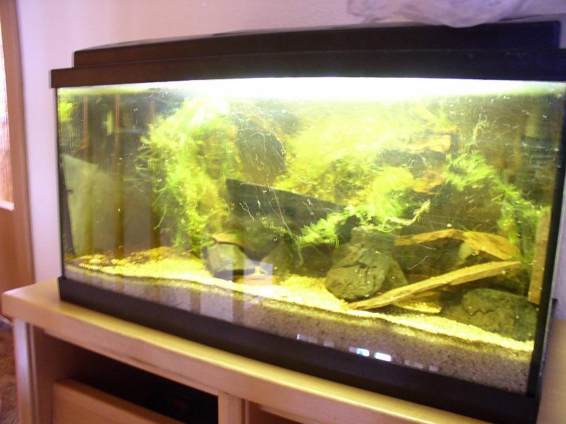 54l brackwasser mit goldringelgrundeln und rennschnecken aquarium forum. Black Bedroom Furniture Sets. Home Design Ideas