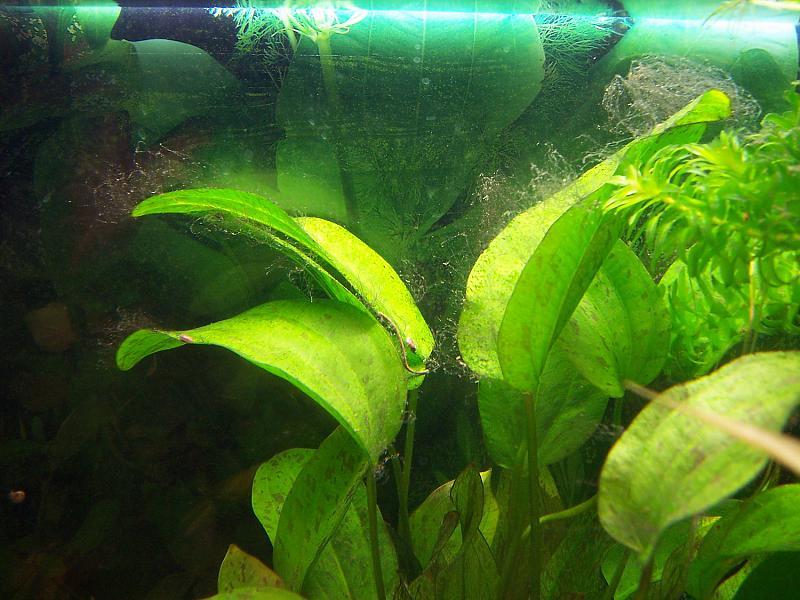 was sind das f r algen aquarium forum. Black Bedroom Furniture Sets. Home Design Ideas