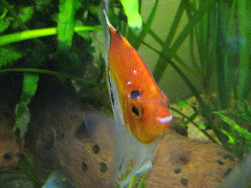 Skalar mit wei en pickeln fotos aquarium forum for Skalar aquarium