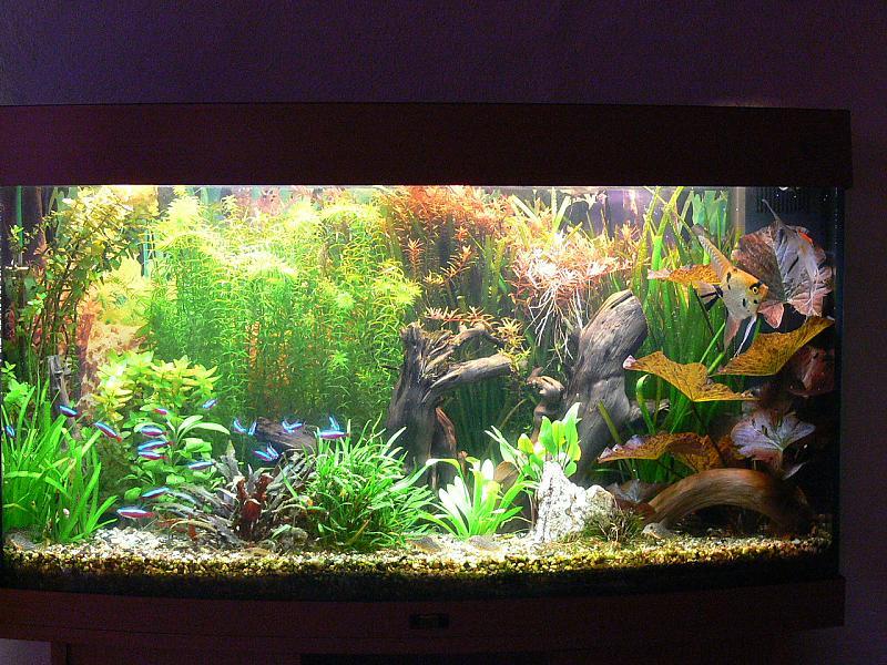 Nannostomus trifaciatus und skalare aquarium forum for Skalar futter