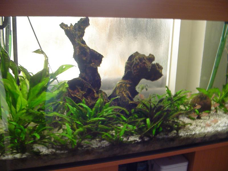 algenrasen wuchert pflanzen gehen ein hilfe bitte aquarium forum. Black Bedroom Furniture Sets. Home Design Ideas