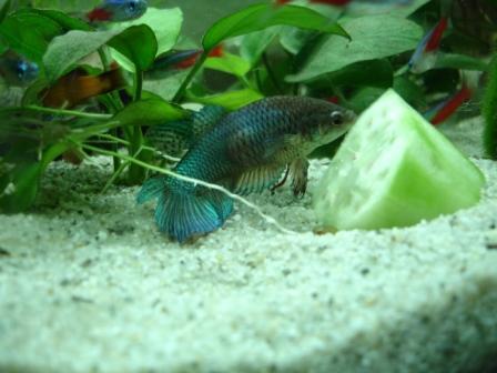 Fisch weisse beule am kopf