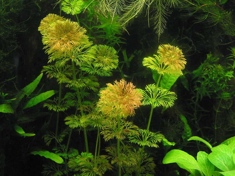 braune spitzen an lymnophila sessiliflora aquarium forum. Black Bedroom Furniture Sets. Home Design Ideas