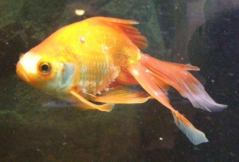Goldfische mit weissen rotgeraenderten erhebungen for Aquarium fische im teich