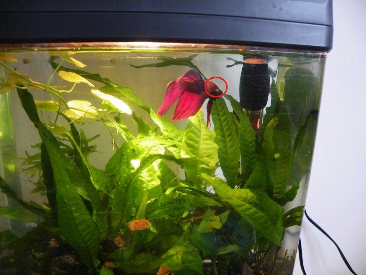 Hilfe kampffisch erkrankt flossenf ule aquarium forum for Kampffisch aquarium