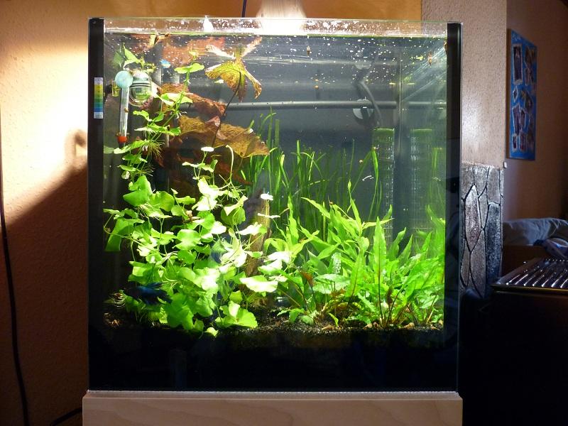 125l w rfel perlhuhnb rblinge aquarium forum. Black Bedroom Furniture Sets. Home Design Ideas