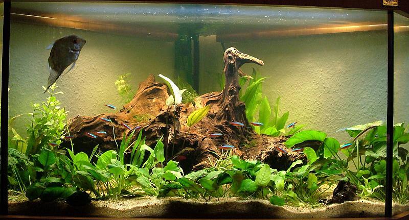 Leuchtstofflampen braunes wasser durch wurzel wie lange for Aquarium wurzel